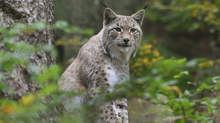 Ein Luchs im Luchsgehege des Nationalpark Harz.-- lynx in the Harz mountain area of Germany
