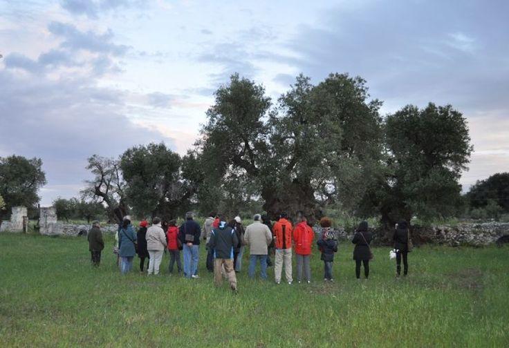 Passeggiata Letteraria tra ulivi millenari dell'antica Masseria Brancati a Ostuni