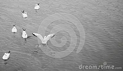 White gulls floating on the Baltic Sea