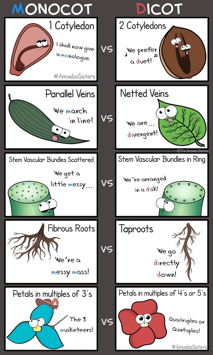 Time for a little monocot vs dicot! Remember, as always with biology, there are some exceptions!