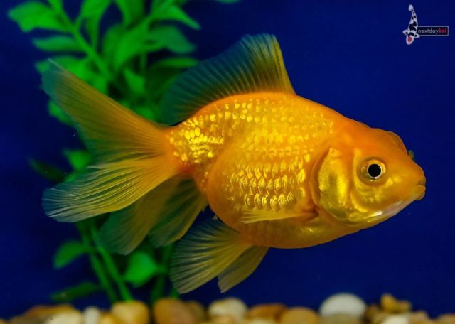 4 Golden Pearlscale Imported Live Fancy Goldfish For Koi Fish Pond Ndk Koi Fish Pond Goldfish Fish Pond