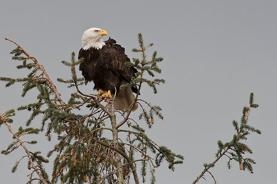 44 best images about Eagles on Pinterest | Nests, Eagle ...