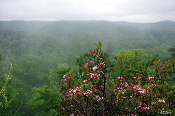 Frolicing in the Forest — Mountain Laurel (Kalmia latifolia)