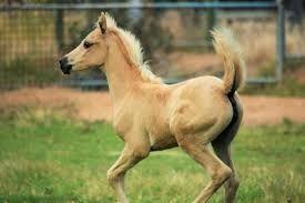 Shahrorah CI  By Kalidascope Shaheen out of Shakorah (my Mum's favourite mare)