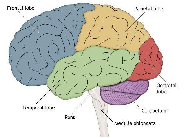 Brain Lobes Www Anatomynote Com Brain Lobes Brain Lobes And Functions Lobes
