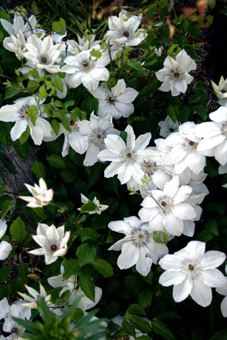 17 Best Images About Bloeiende Clematis On Pinterest