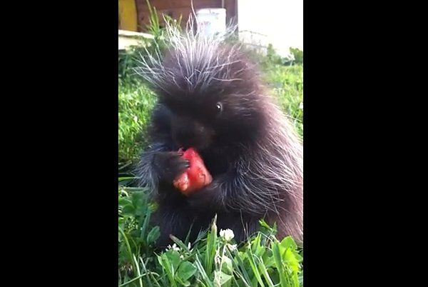 Baby Porcupine Eating Watermelon (Video) - http://www.gigglefinger.com/baby-porcupine-eating-watermelon-video/
