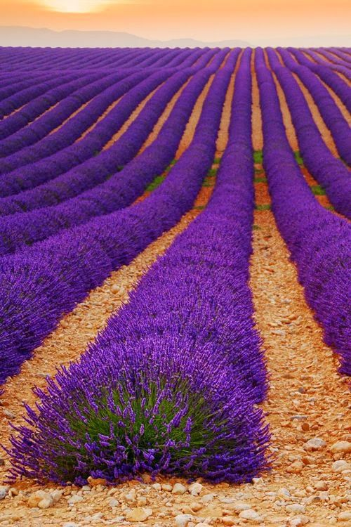 Lavender field at plateau de Valensole, Provence, France