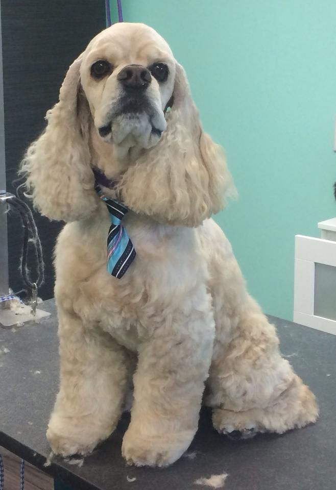 14 best grooming inspiration sporting group images on pinterest groomed by the upscale tail ltd pet grooming salon naperville il solutioingenieria Choice Image