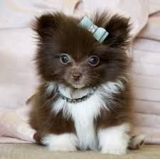 Image result for black pomeranian puppies
