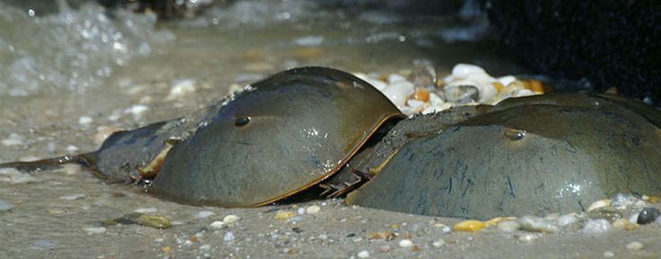 """Despite their common name, horseshoe crabs are not really crabs (crustaceans).  Called """"living fossils"""" because they predate the dinosaurs by more than 200 million years, Atlantic horseshoe crab numbers have been declining since at least the 1990s. Delaware has the largest population of horseshoe crabs in the world, and scientists from NOAA's National Estuarine Research Reserves are studying the species there."""