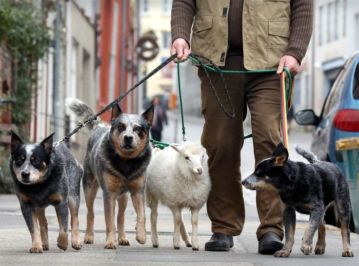 Wolfgang Grensens goes for a walk with his lamb Wally and his three Australian shepherd dogs in Luebeck, Germany, on Nov. 12. Grensens decided to raise the 6-week-old East-Prussian Skudde lamb himself after its mother died.