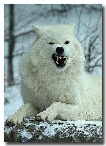 Grrrrrrrrrrrrr!!!!!!!!!!!!!!!! I Don't like Mondays!! Arctic Wolf | Flickr - Photo Sharing!