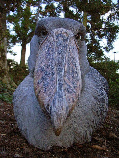 Shoebill _if he's that close, looking at you like that, say your last prayer and get ready to be thrown up in the air (so you land, headfirst down his gullet)