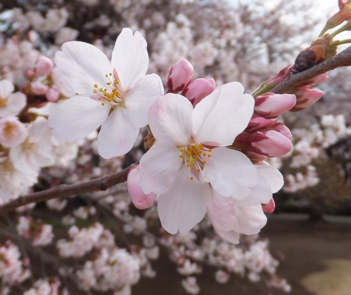 17 Best images about Cherry Blossoms on Pinterest ... - photo#42