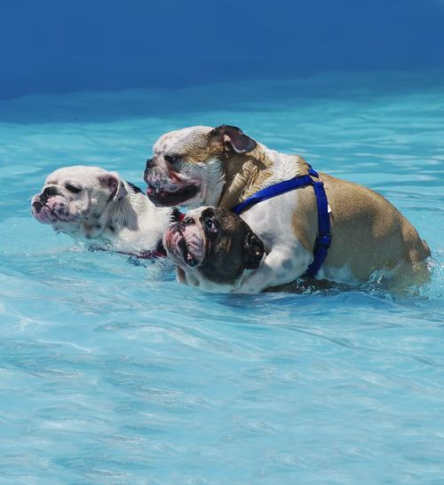 English Bulldogs ~ Hey no piggy-backing ~ repinned from Jeff Davies