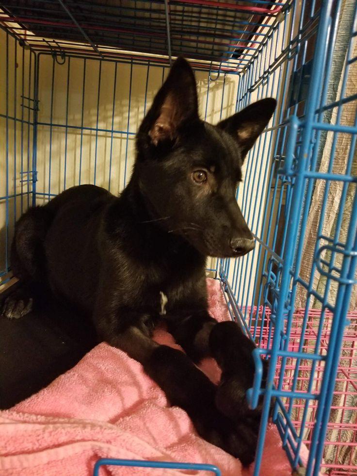 German shepherd dog dog for adoption in stephens city va