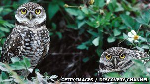 BBC Nature - A new owl species from Indonesia is formally described