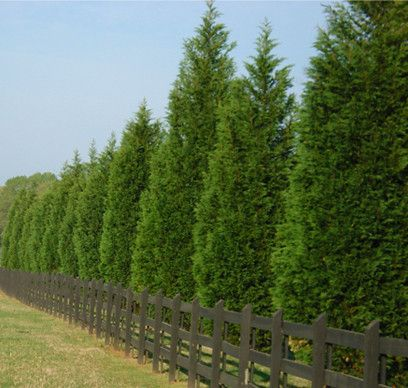 Privacy trees leyland-cypress