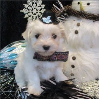 Maltese teacup puppies for sale! We ship, very safe! Easy financing available!!! visit our website teacuppuppiesstore.com or call 954-353-7864 #maltese teacup puppies for sale! We ship, very safe! Easy financing available!!! visit our website teacuppuppiesstore.com or call 954-353-7864.