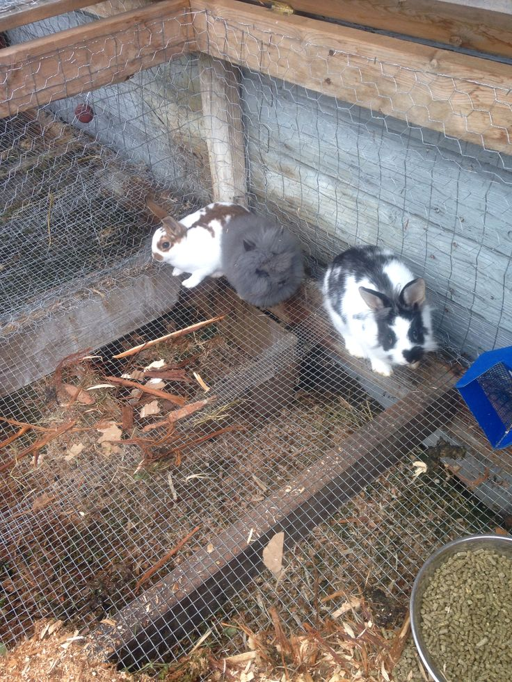 My three baby bunnies: pipper the black and white female lionhead mini Rex mix, shillow the fluffy Gray female pure lionhead, and faline the brown and white female pure mini Rex. There sooo cute :D