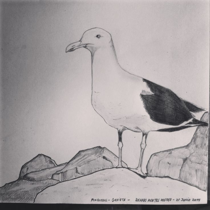 Gaviota en Rocas de Pingueral - Ciudad de Tomé - Chile