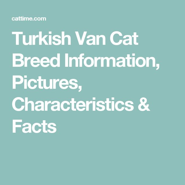 Turkish Van Cat Breed Information, Pictures, Characteristics & Facts