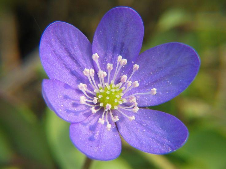 Хепатика, Анемон, Цветок, Цветение, Цвести, Весна