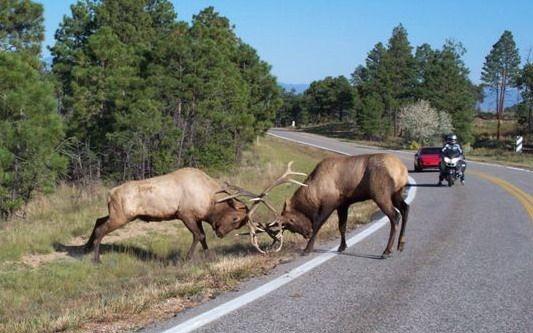 Elk Fighting Pictures. Dueling Elk near Woodland Park Colorado.