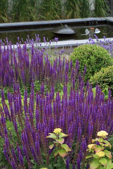 Blauw/paars tinten in de tuin Lavendel, Salvia en buxusbollen als groene basis