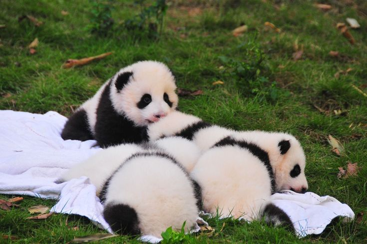 If You're In Need of a Pick-Me-Up, These 100 Happy Facts Might Do the Trick - Sallie Lundy-frommer - If You're In Need of a Pick-Me-Up, These 100 Happy Facts Might Do the Trick A newborn panda is smaller than a mouse. Baby Panda Bears, Baby Pandas, Giant Pandas, Cute Panda Baby, Baby Otters, Baby Sloth, Baby Penguins, Animals And Pets, Cute Animals