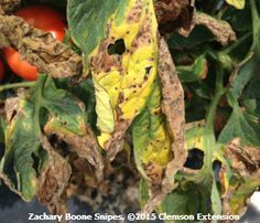 Tomato Diseases and Disorders from Clemson University.  Great reference.