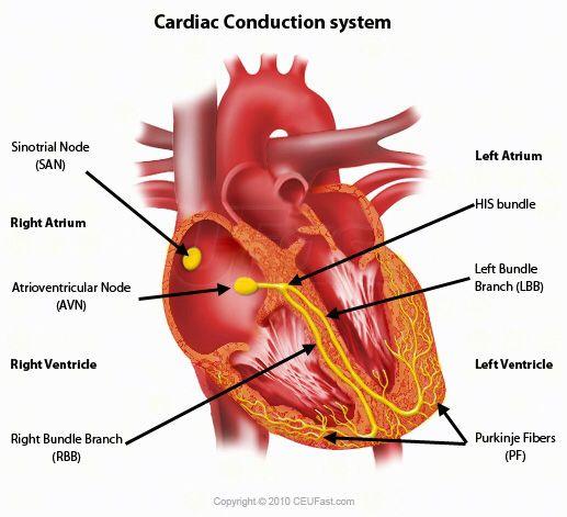 Cardiac conduction system: sinoatrial node (SA), atrioventicular node (AV), bundle of HIS, left & right branch, purkinje fibers, purkinje network