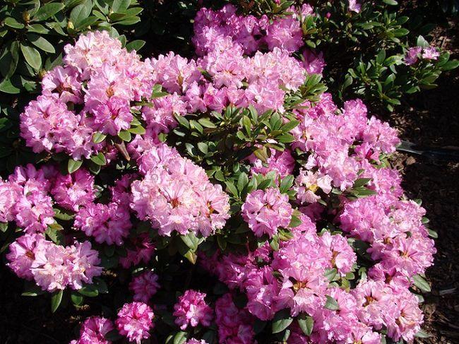 Rododendron - krzew kwitnący