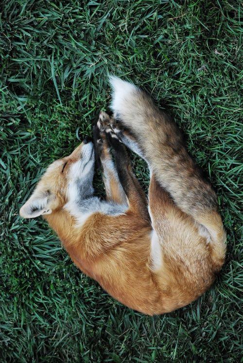 Sleepyhead  (thanks @Judy Seaman  [CaliWrites] !) #fox #red_fox #Vulpes_vulpes