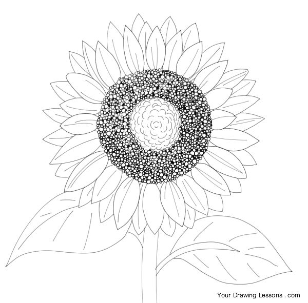 sunflower line drawing