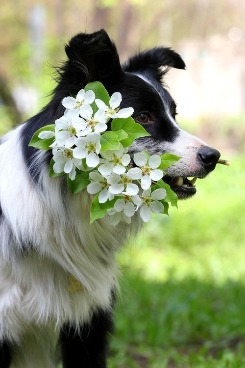 """Click visit site and Check out Cool """"Border Collie"""" T-shirts. This website is outstanding. Tip: You can search """"your name"""" or """"your favorite shirts"""" at search bar on the top."""