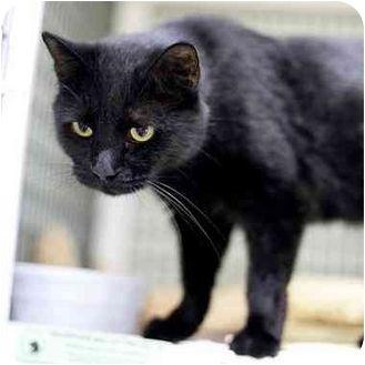 Denver, CO - Domestic Shorthair. Meet Charm, a cat for adoption. http://www.adoptapet.com/pet/4697689-denver-colorado-cat