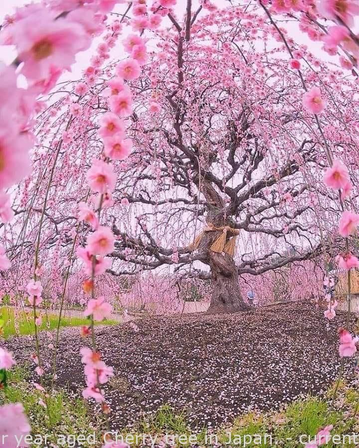 200 Calendar Year Aged Cherry Tree In Japan Current Amazing Blossom Trees Cherry Blossom Tree Sakura Tree