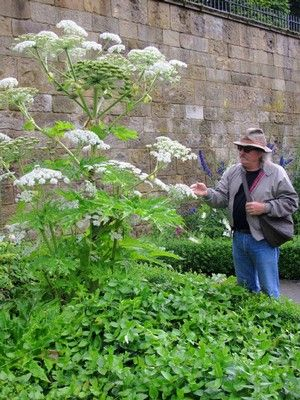 The stunningly beautiful giant hogweed is poisonous to the touch, and headed by seed toward the Mid-South. Contact with the plant can cause painful blistering rashes and even blindness.