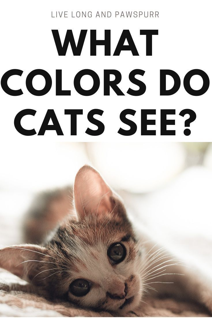 What Colors Can Cats Really See Live Long And Pawspurr In 2020 Cat Facts Cat Advice Cat Questions