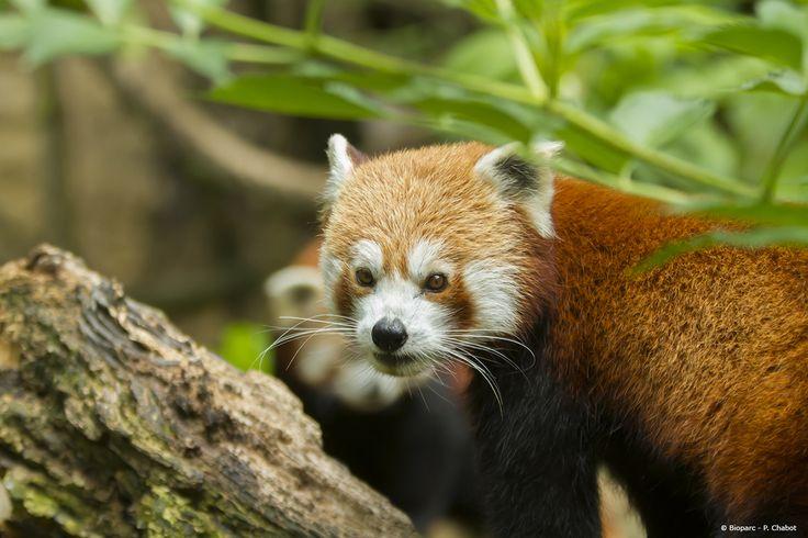 Portrait de Pim, notre mâle panda roux.
