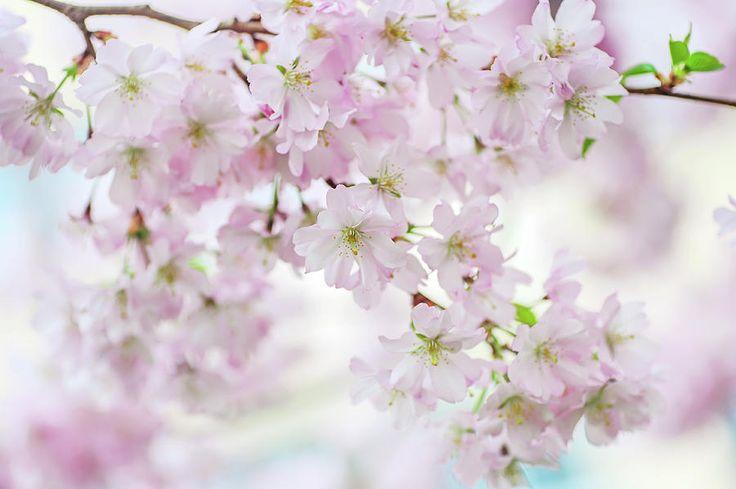 Sakura Rendez-vous. Spring Pastels Photograph by Jenny Rainbow