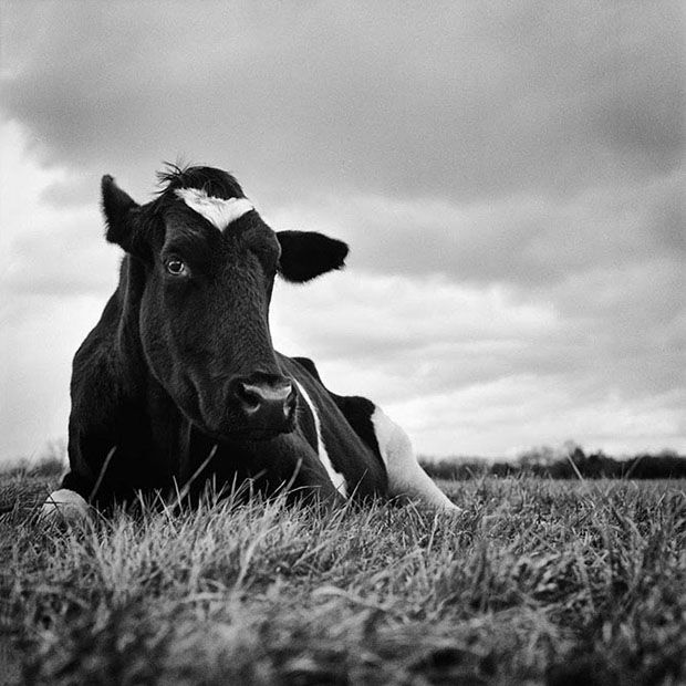 """""""Norman was a veal calf, originally rescued as a baby from an auction by another sanctuary. He came to us as an adult with his girlfriend, a large black Angus cow named Ellie May. Norman and Ellie May were inseparable, always grazing together and sleeping side-by-side in the barn at night."""