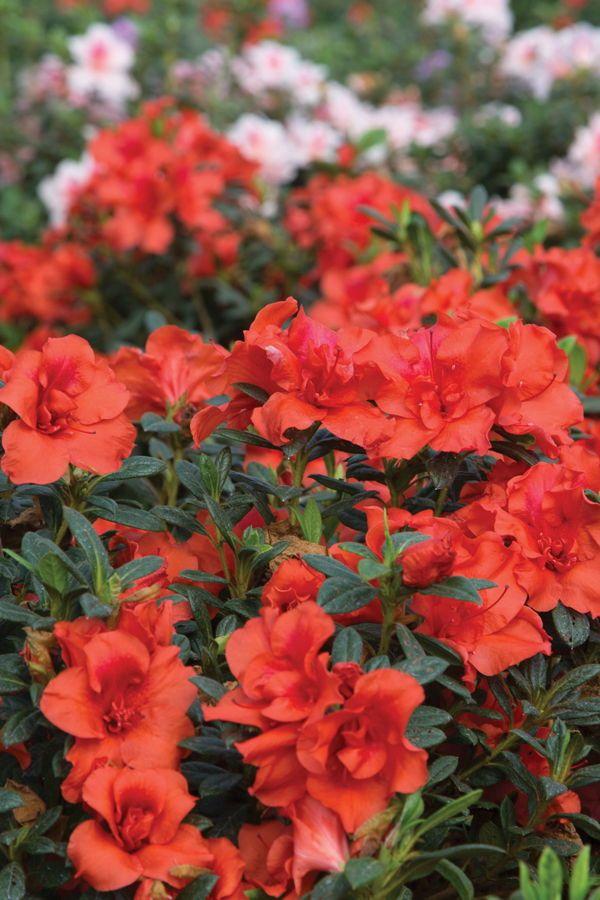 Dwarf Encore Azaleas Small In Habit Bold On Blooms Small Garden Shrubs Azaleas Landscaping Garden Shrubs