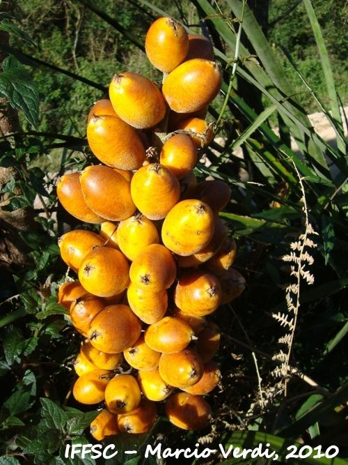 Caraguatá - Bromelia antiacantha