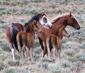 Wild Mustang Horses | Please Oppose the BLM's Proposal Roundup in the Stone Cabin, Nevada ...