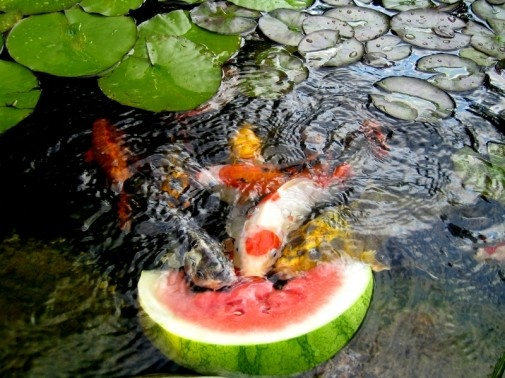 koi love watermelon! Bon à savoir :)