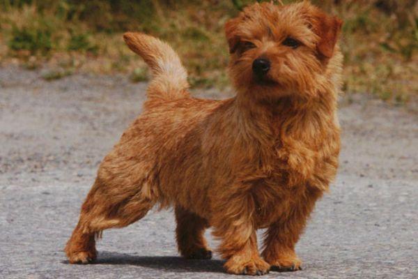 norfolk terrier puppy pictures