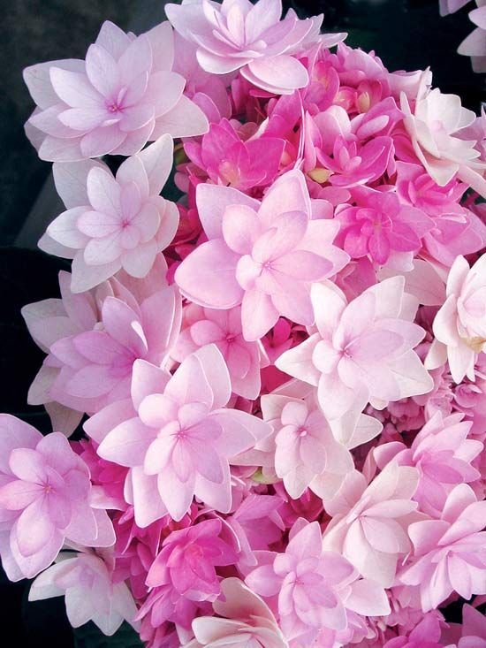 Hydrangea You-Me Passion happily blooms from April to September. Flowers are soft